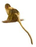 Talapoin猴子 免版税图库摄影