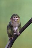 Talapoin du Gabon Images stock