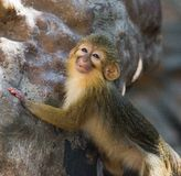 Talapoin du Gabon Photo stock