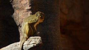 Talapoin du Gabon ou talapoin du nord, singe africain - ogouensis de Miopithecus clips vidéos