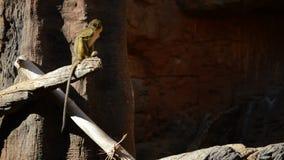 Talapoin du Gabon ou singe du nord de talapoin dans un arbre clips vidéos