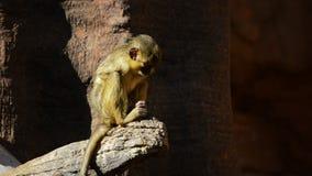 Talapoin du Gabon ou singe du nord de talapoin dans une roche banque de vidéos