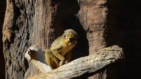Talapoin du Gabon ou singe du nord de talapoin dans une roche en parc naturel - ogouensis de Miopithecus banque de vidéos