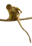Talapoin Stock Image