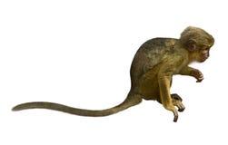 Talapoin (talapoin di Miopithecus) Fotografie Stock Libere da Diritti