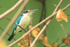 Talaud kingfisher Royalty Free Stock Photo