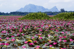 Talay Noi Wetlands, Phattalung. A vast lake full of waterlilies of Talay Noi Wetlands, Phattalung, Thailand Stock Image