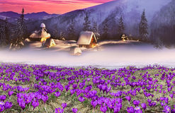 Tale with crocuses Royalty Free Stock Photo