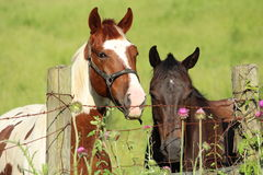The Tale of Two Mares Royalty Free Stock Photo