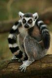 taled кольцо обезьяны lemur Стоковое Фото