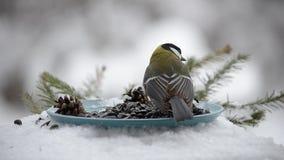Talgoxe som pickar frö i vintern stock video