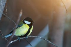 Talgoxen Parus ha som huvudämne sitter på filial i vinterskog royaltyfri fotografi