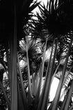 Talipot palm Stock Photo