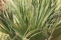Talipot palm Stock Image
