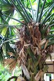 Talipot Palm Royalty Free Stock Images