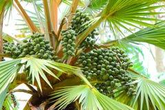 Talipot palma - Corypha Umbraculifera Obraz Stock