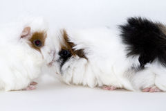 A Talk. Talking cute little black and white guinea pigs royalty free stock image