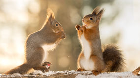 Talk about small things. Red squirrels standing on tree with snow in sunlight and one with open mouth Stock Photography