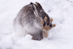 Mountain Hare Grooming (Lepus Timidus) Stock Photo