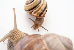 Talk of two snails. Isolated Royalty Free Stock Image