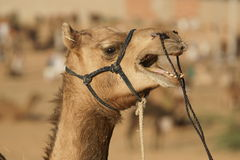 Talkative Camel Royalty Free Stock Photos
