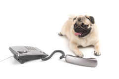 Talkative dog. Stock Photos