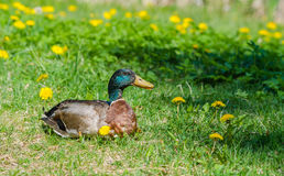 Talkative duck lying in the grass Royalty Free Stock Images