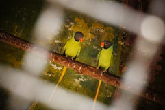 A talkative parrot couple in the cage. This is amaze pic. A talkative parrot couple in the cage have eye contact each other Royalty Free Stock Photography
