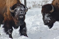 The talker. A buffalo takes another buffalo's feeding spot and seemingly brags of it Royalty Free Stock Photography