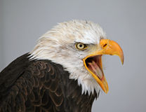 Talking Bald Eagle Stock Photography