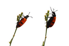 Talking beetles Royalty Free Stock Photo