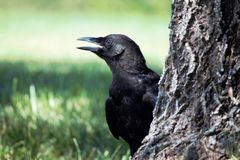 Talking Black Crow. Solitary black crow peeking around a tree in a field of grass saying Hello Royalty Free Stock Images