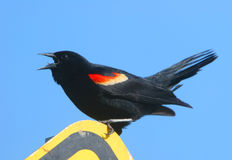 Talking Blackbird. A Red-winged Blackbird shouts out loud Royalty Free Stock Images