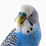 Talking blue wavy parrot. The Portrait. Stock Photography