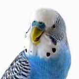 Talking blue wavy parrot. The Portrait. stock photography