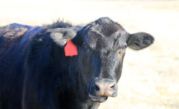 Talking or chewing cud cow face wearing ear tag Stock Photography