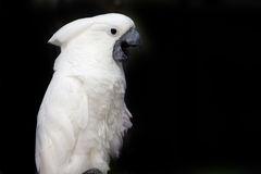 Talking Cockatoo. Beautiful Cockatoo isolated on black with his beak open Stock Photos