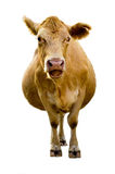 Talking Cow. Isolated cow with humorous expression, looks like she is talking Stock Photos
