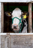 Talking Cow in a barn Royalty Free Stock Photo