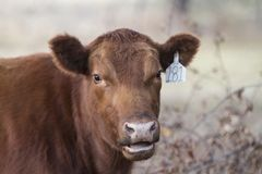 Talking cow with ear tag. Red cow with ear tag, face closeup, with mouth open as though she is talking. Red Angus cow with pink nose and lips is looking at the stock images
