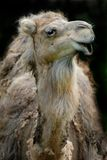 Talking dromedary royalty free stock image