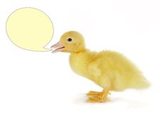 Talking duckling Stock Images