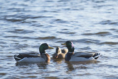 Talking duks. Three ducks are discussing something Royalty Free Stock Images