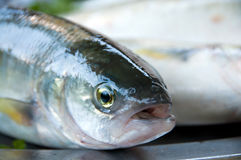 Talking fish Stock Photo