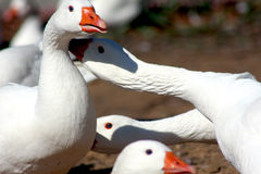 Talking geese. White geese in some discussion Stock Photo