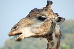 Talking giraffe Stock Images