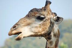 Talking giraffe Stock Images