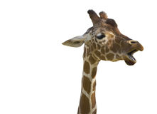 Talking Giraffe with path Royalty Free Stock Photos
