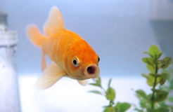 Talking gold fish. Royalty Free Stock Image