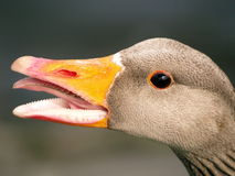Talking goose Stock Photography